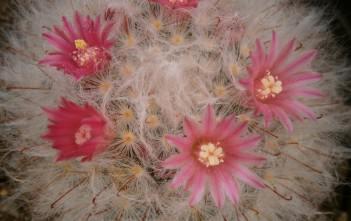Mammillaria bocasana - Powder Puff Cactus, Snowball Cactus, Fishhooks