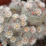 Mammillaria bocasana (Powder Puff Cactus)