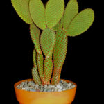 Opuntia microdasys subsp. rufida (Cinnamon Bunny Ears)