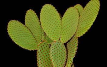 Opuntia microdasys subsp. rufida (Cinnamon Bunny Ears) aka Opuntia rufida