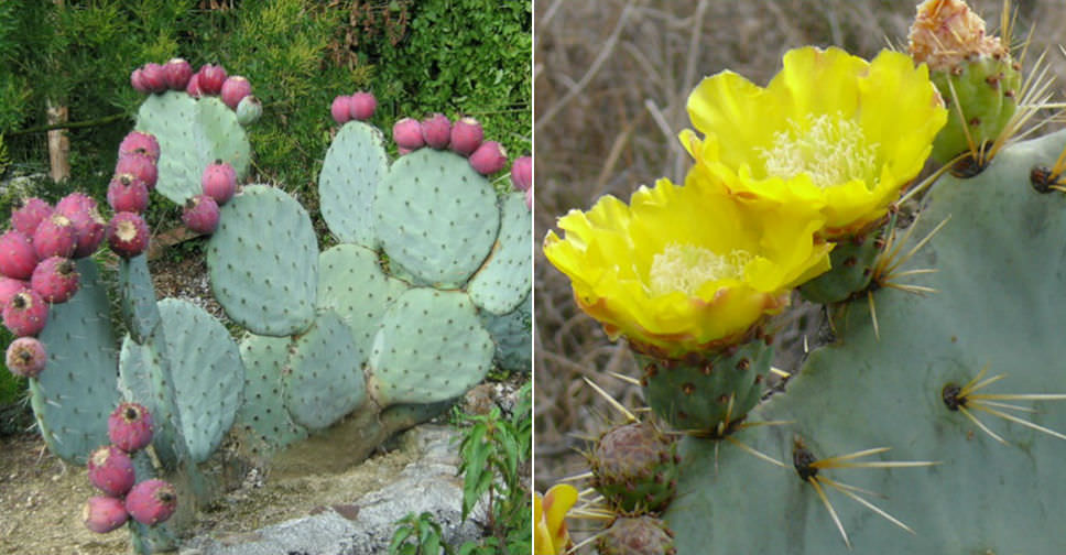 Opuntia robusta Hardy Giant Prickly Pear Cactus Graines
