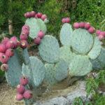 Opuntia robusta (Wheel Cactus)