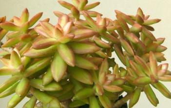 Sedum nussbaumerianum - Nussbaumer's Sedum, Coppertone Stonecrop