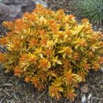 Sedum nussbaumerianum (Coppertone Stonecrop)