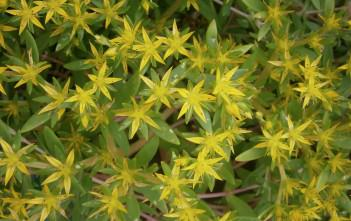 Sedum sarmentosum - Gold Moss, Stringy Stonecrop, Graveyard Moss