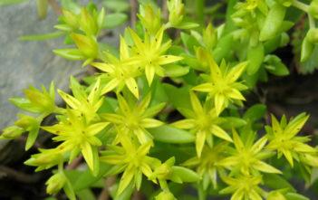 Sedum sarmentosum (Stringy Stonecrop)
