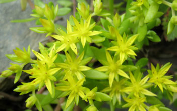Sedum sarmentosum - Gold Moss Stonecrop