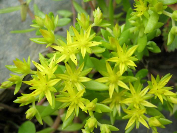 Sedum sarmentosum (Gold Moss Stonecrop)