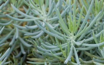 Senecio serpens - Blue Chalksticks
