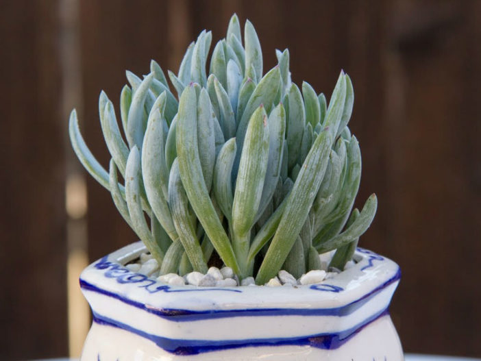 Curio repens (Blue Chalksticks) aka Senecio serpens or Kleinia repens
