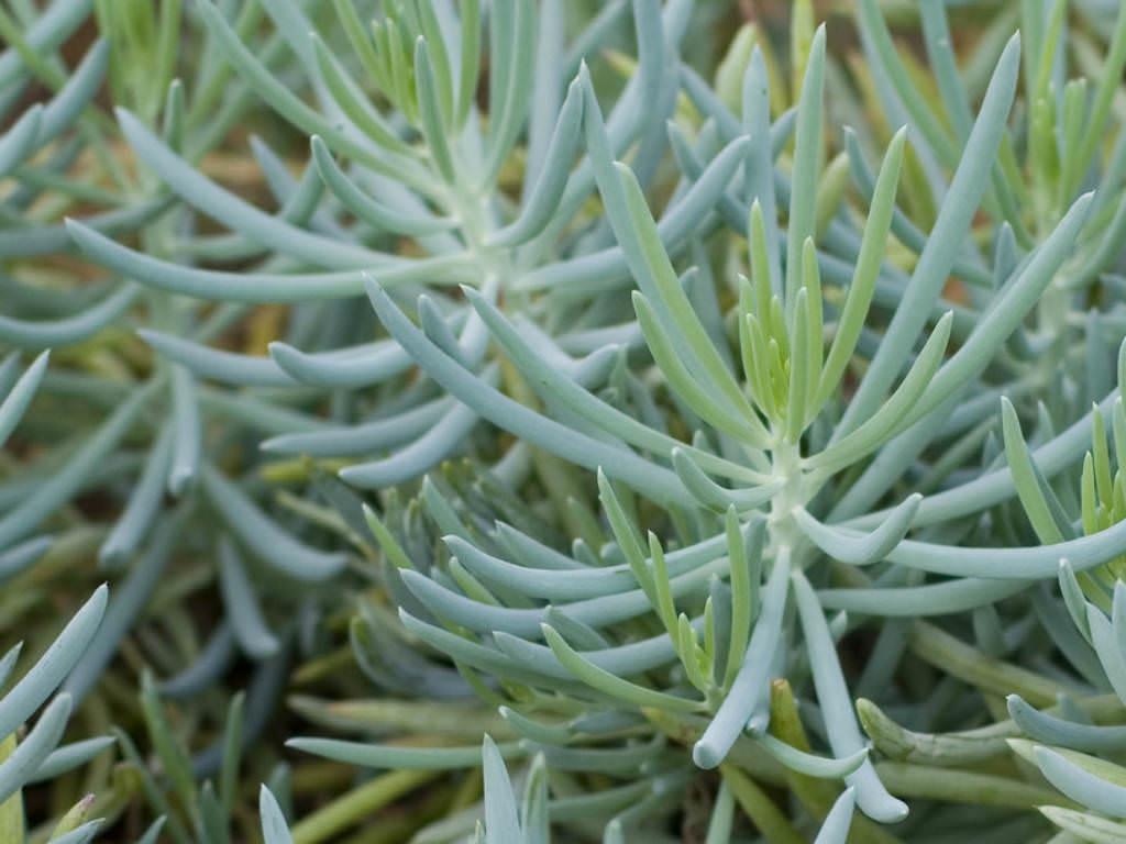 4\u201d inch Live Succulent Plant \u201cDwarf Blue Chalkstick\u201d Curio \u2018Repens\u2019 aka Senecio \u2018Serpens\u2019