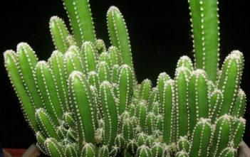 Acanthocereus tetragonus 'Fairy Castle' (Fairy Castle Cactus)