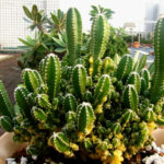 Acanthocereus tetragonus'Fairy Castle' f. variegata