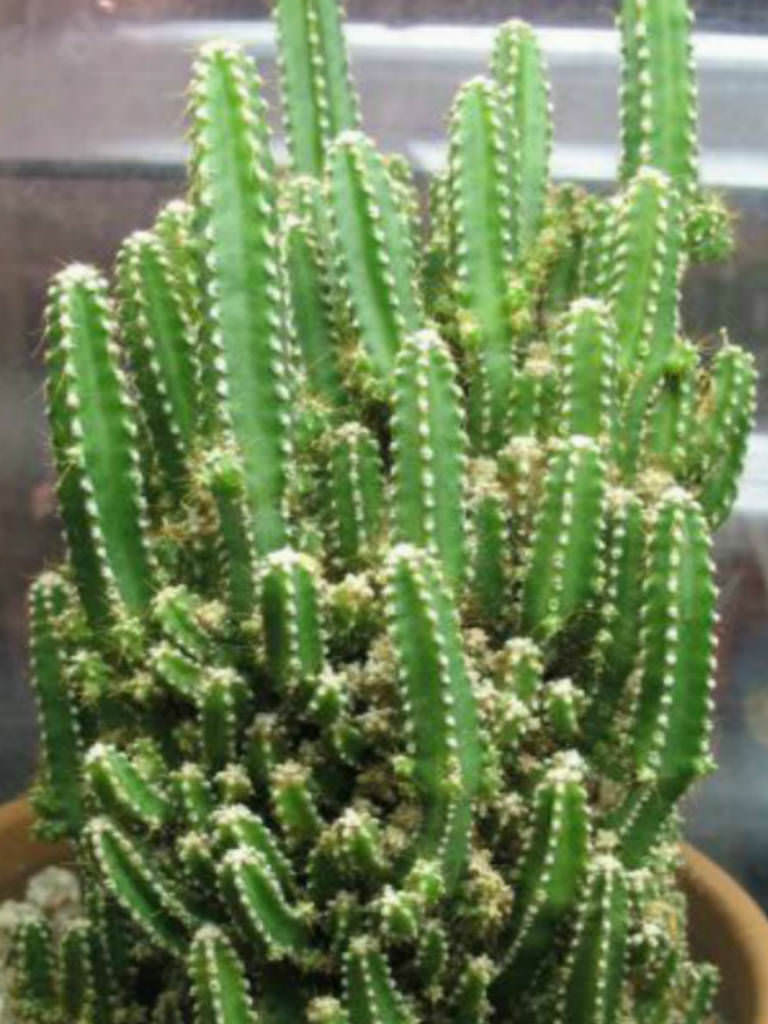 Acanthocereus tetragonus 39 fairy castles 39 fairy castle - What is cactus plant good for ...