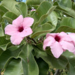 Adenium obesum subsp. boehmianum (Bushman's Poison) aka Adenium boehmianum