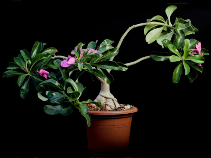 Adenium boehmianum - Bushman's Poison