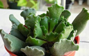 Adromischus cristatus - Crinkle Leaf Plant