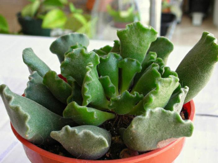 Adromischus cristatus (Crinkle Leaf Plant)