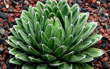 Agave victoriae-reginae - Queen Victoria Agave, Royal Agave