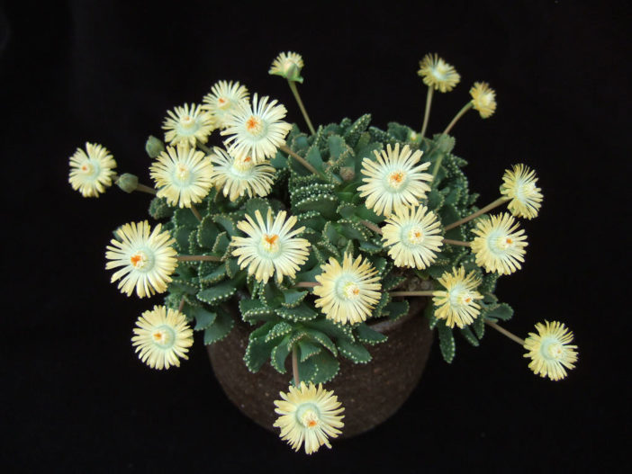 Aloinopsis malherbei (Giant Jewel Plant)