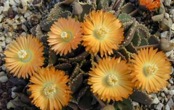 Aloinopsis malherbei - Giant Jewel Plant
