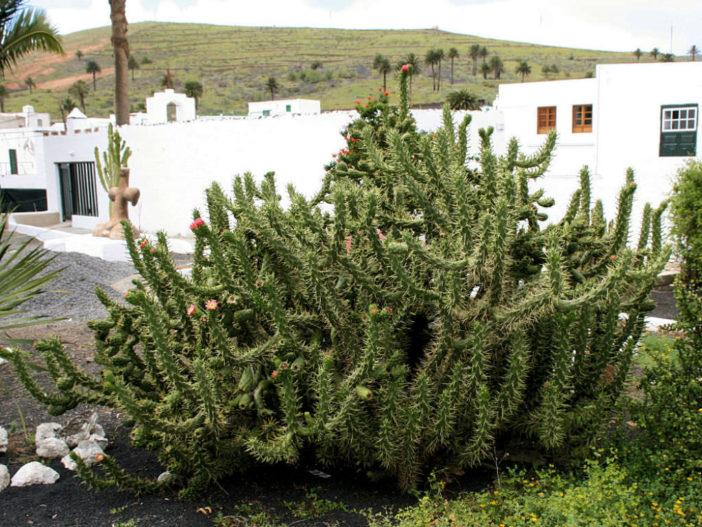 Austrocylindropuntia subulata (Eve's Needle Cactus)