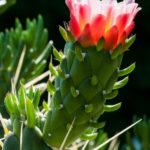 Austrocylindropuntia subulata - Eve's Needle Cactus