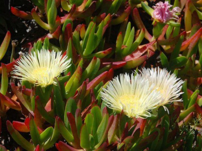 Highway Ice Plant Unrooted cuttings Carpobrotus edulis