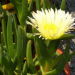 Carpobrotus edulis (Hottentot Fig)