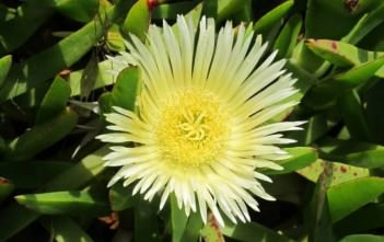 Carpobrotus edulis - Hottentot Fig, Highway Ice Plant