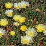 Carpobrotus edulis - Highway Ice Plant