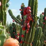 Cereus repandus - Peruvian Apple, Hedge Cactus