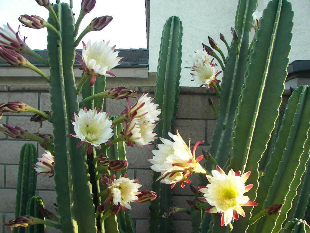 Night Blooming Cereus care - Selenicereus grandiflorus is ... |Night Blooming Cereus Cactus Care