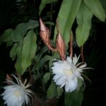 Epiphyllum oxypetalum - Dutchman's-Pipe Cactus, Queen of the Night
