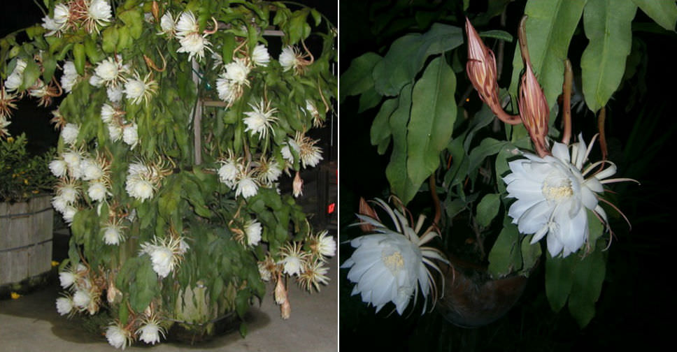 """5 Cuttings×4"""" Epiphyllum Oxypetalum Queen of the Night Orchid Cactus Night Bloom"""