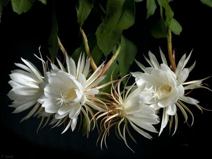 Epiphyllum oxypetalum - Dutchman's Pipe Cactus
