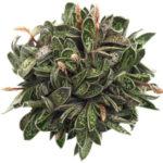 Gasteria bicolor var. liliputana - Dwarf Gasteria