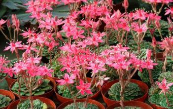 Tacitus bellus (Chihuahua Flower) aka Graptopetalum bellum