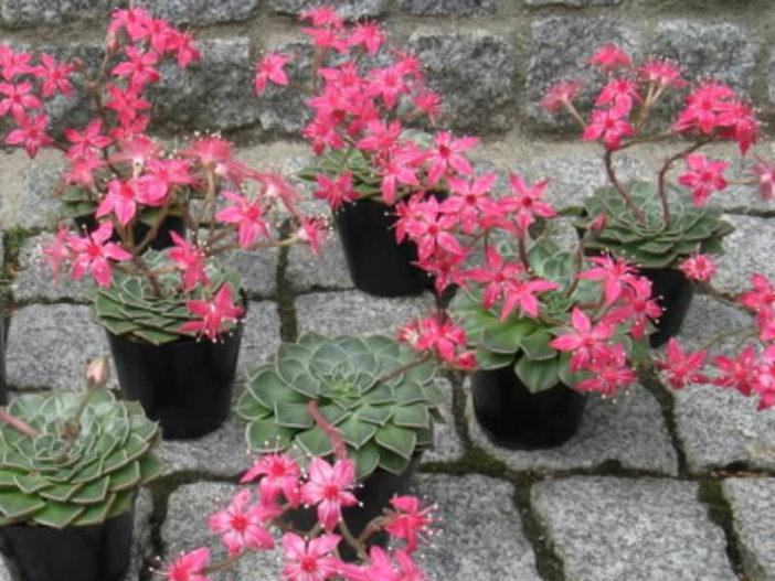 Graptopetalum bellum - Flowers