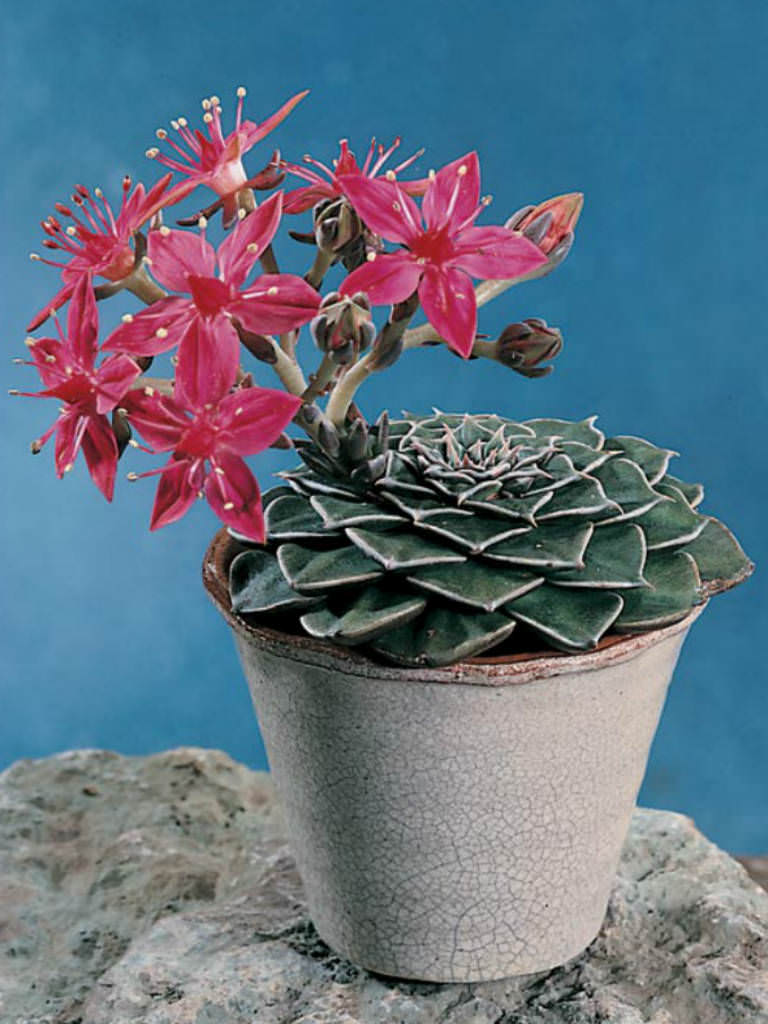 Graptopetalum bellum (Chihuahua Flower) | World of Succulents
