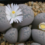 Lithops marmorata - Living Stones, Split Rocks