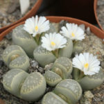 Lithops marmorata - Living Stones