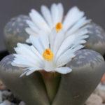 Lithops marmorata (Living Stones)
