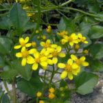 Senecio angulatus (Climbing Groundsel)