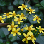 Senecio angulatus - Climbing Groundsel, Creeping Groundsel, Cape Ivy