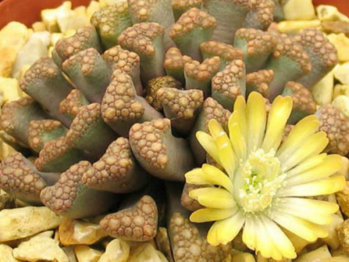 Titanopsis Hugo Schlechteri Jewel Plant World Of