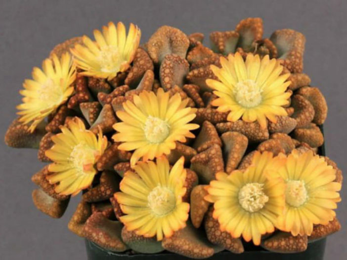 Titanopsis hugo-schlechteri - Jewel Plant