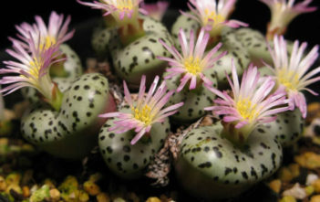 Conophytum obcordellum (Dumpling)