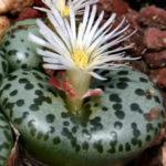 Conophytum obcordellum - Dumpling