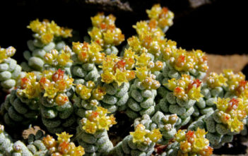 Crassula corallina (Coral Crassula)